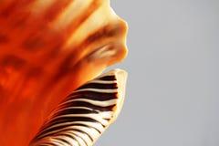 Coquille vide d'escargot de mer, trompette atlantique de triton, variegata de Charonia de mer photographie stock
