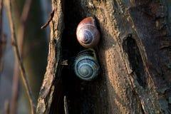 2 coquilles d'escargot sur un tronc d'arbre photographie stock libre de droits