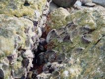 Coquilles d'huître sur la roche Images stock