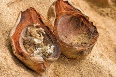 Coquilles dans une noix de coco Image libre de droits