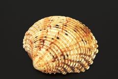 Coquilles de coque de la mer, de l'océan Photographie stock libre de droits