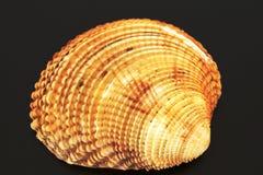 Coquilles de coque de la mer, de l'océan Images stock