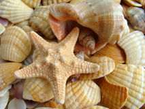 Coquilles de coque et étoiles de mer Images libres de droits