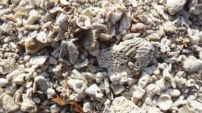Coquilles de coque sur une plage Photographie stock libre de droits
