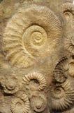 Coquilles de fossiles photos libres de droits