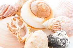 Coquilles de mer Images libres de droits