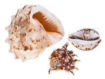 Coquilles de mer Photo stock