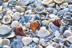Coquilles de mer du côté de mer Photos stock