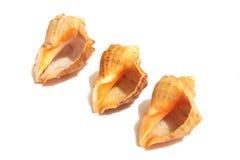 Coquilles de mer sur le blanc Photo stock