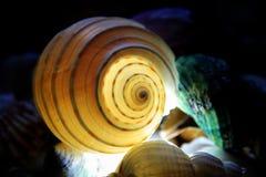 Coquilles de mer sur le fond foncé Photographie stock libre de droits