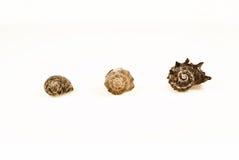 3 coquilles de petit à grand Image libre de droits