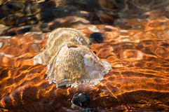 coquilles de piscine de roche Images libres de droits