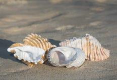 Coquilles sur le plein fond de sable Image stock