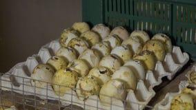 Coquilles vides d'oeufs de sorte d'agriculteur après la naissance des oiseaux banque de vidéos