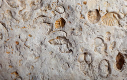 Coquina background old fossil Royalty Free Stock Photos