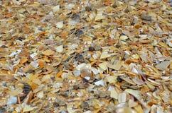 Coquina - fragmento da praia Fotos de Stock