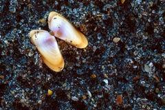 Coquina havsskal på sanden Arkivfoto