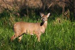 corça Branco-atada dos cervos Foto de Stock