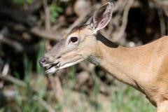 corça Branco-atada dos cervos foto de stock royalty free