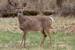 corça Branco-atada dos cervos fotos de stock royalty free
