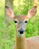 Corça dos cervos de Whitetail Fotos de Stock