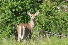 Corça dos cervos de Whitetail Imagem de Stock