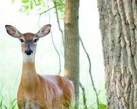 Corça dos cervos de Whitetail Imagens de Stock Royalty Free