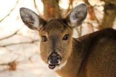 Corça dos cervos de Whitetail que mastiga no inverno Fotos de Stock Royalty Free