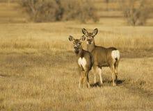 Corça e jovem corça dos cervos de mula Imagem de Stock