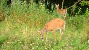 Corça e jovem corça dos cervos de Whitetail filme