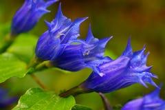 Cor alpina do roxo das flores Fotografia de Stock Royalty Free