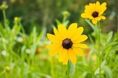 Cor amarela do Rudbeckia imagem de stock