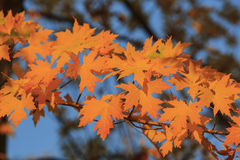 Cor bonita da queda sobre a área do vale do carvalho Imagens de Stock Royalty Free