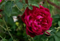 Cor bonita da rosa fotos de stock royalty free