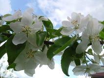 A cor branca de árvores de Apple Fotografia de Stock