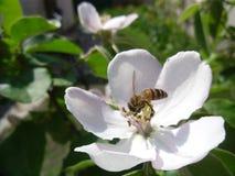 A cor branca de árvores de marmelo Fotografia de Stock