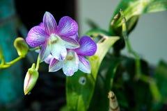 Cor brilhante da orquídea Fotos de Stock