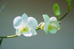 Cor brilhante da orquídea Foto de Stock