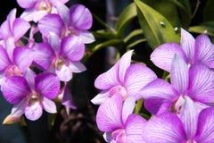 Cor brilhante da orquídea Fotografia de Stock