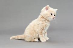 Cor britânica pequena do bege do gatinho Fotografia de Stock Royalty Free