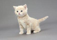 Cor britânica pequena do bege do gatinho Fotos de Stock Royalty Free