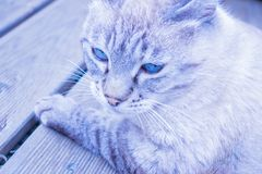 Cor cinzento-azul do gato com olhos azuis fotografia de stock