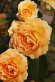 Cor cobre-amarela da pose Imagens de Stock Royalty Free