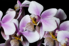 Cor cor-de-rosa branca de Phalenopsis da orquídea mini no fundo preto Fotos de Stock