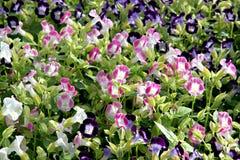 Cor cor-de-rosa e roxa do bálsamo do jardim. fotografia de stock royalty free
