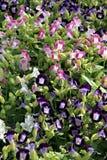 Cor cor-de-rosa e roxa do bálsamo do jardim. imagem de stock royalty free
