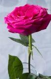 Cor cor-de-rosa rica vertical de Rosa Imagem de Stock