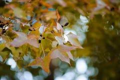 Cor da mudança das folhas Foto de Stock