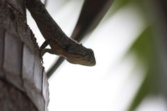 Cor da pele do camaleão a misturar-se com a árvore fotografia de stock