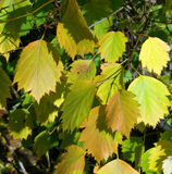 Cor das folhas de outono Foto de Stock Royalty Free